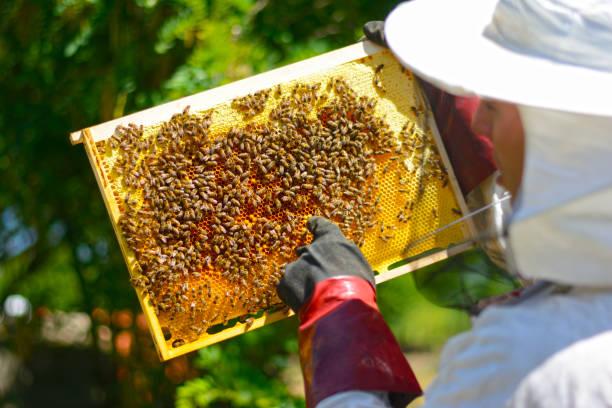 Imker in Schutzhandschuhen Inspektion Rahmen mit Waben von Bienen – Foto