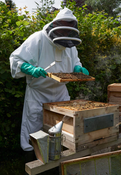 Beekeeper inspecting a frame of honey from hive stock photo