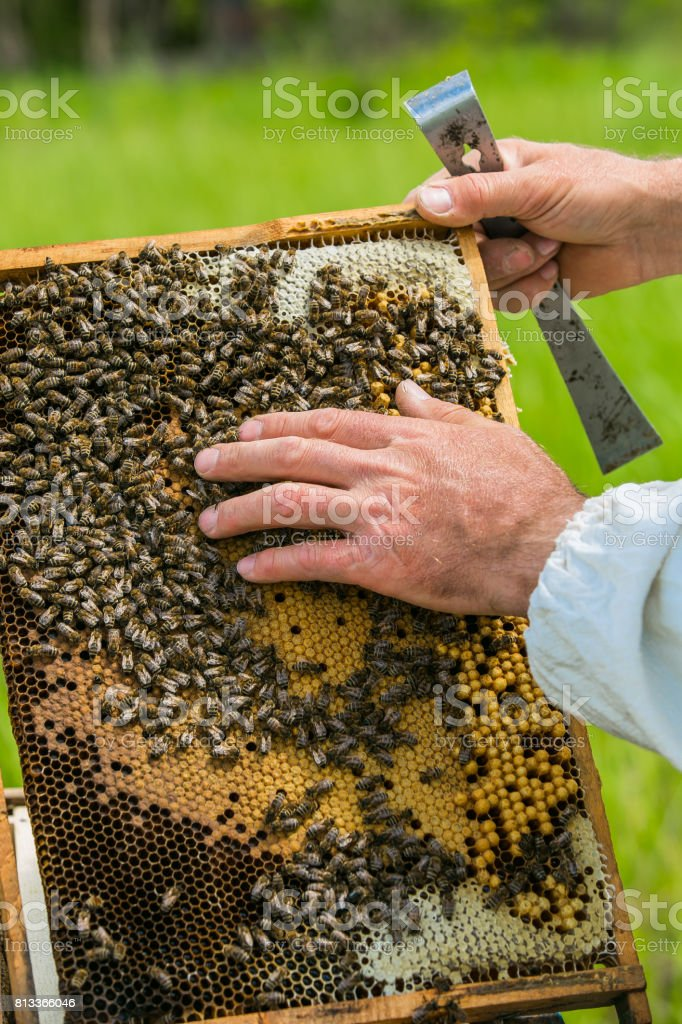 Beekeeper inspecting frame with honeycomb full of bees. Apiary concept. Bees on honeycombs stock photo