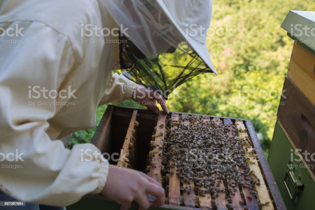 Beekeeper  is checking his honeycomb stock photo
