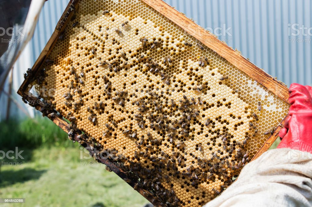 Beekeeper is taking out the honeycomb on wooden frame to control situation in bee colony. royalty-free stock photo