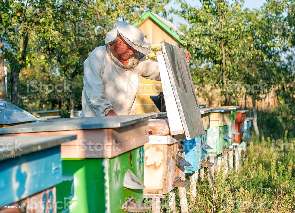 Beekeeper is working with bees and beehives on the apiary. royalty-free stock photo