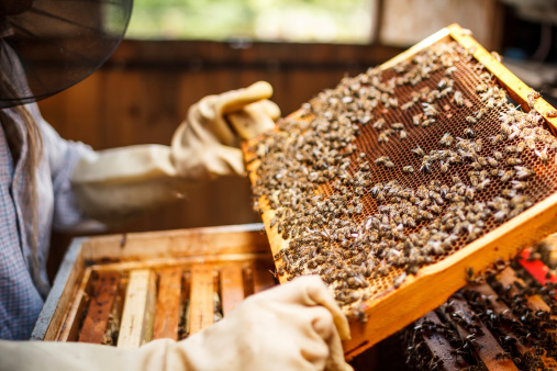 Beekeeper lifting a tray out of a beehive