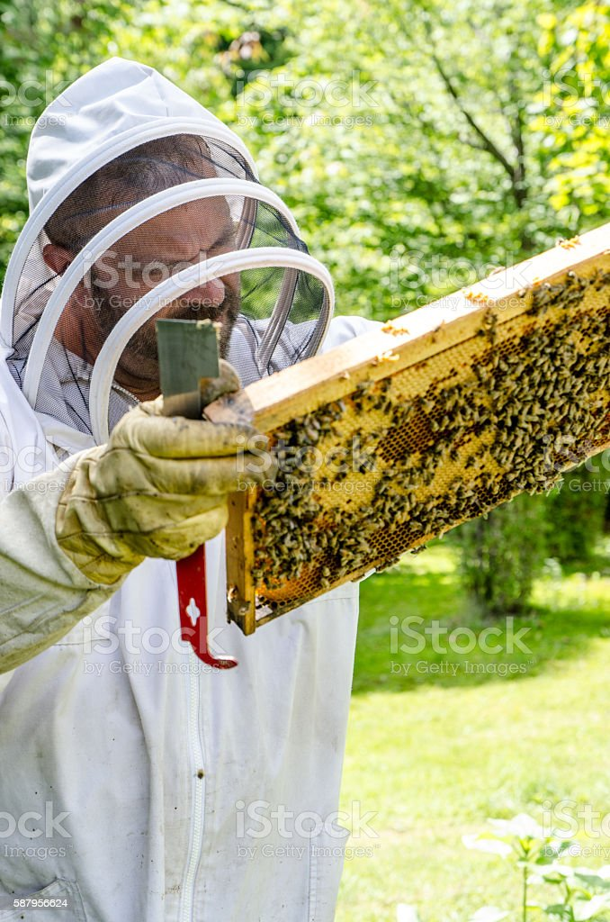 Beekeeper looking at frame from beehive full of bees stock photo
