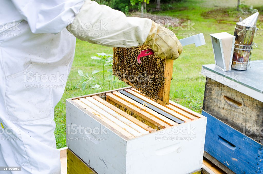 Beekeeper removing frame from beehive stock photo