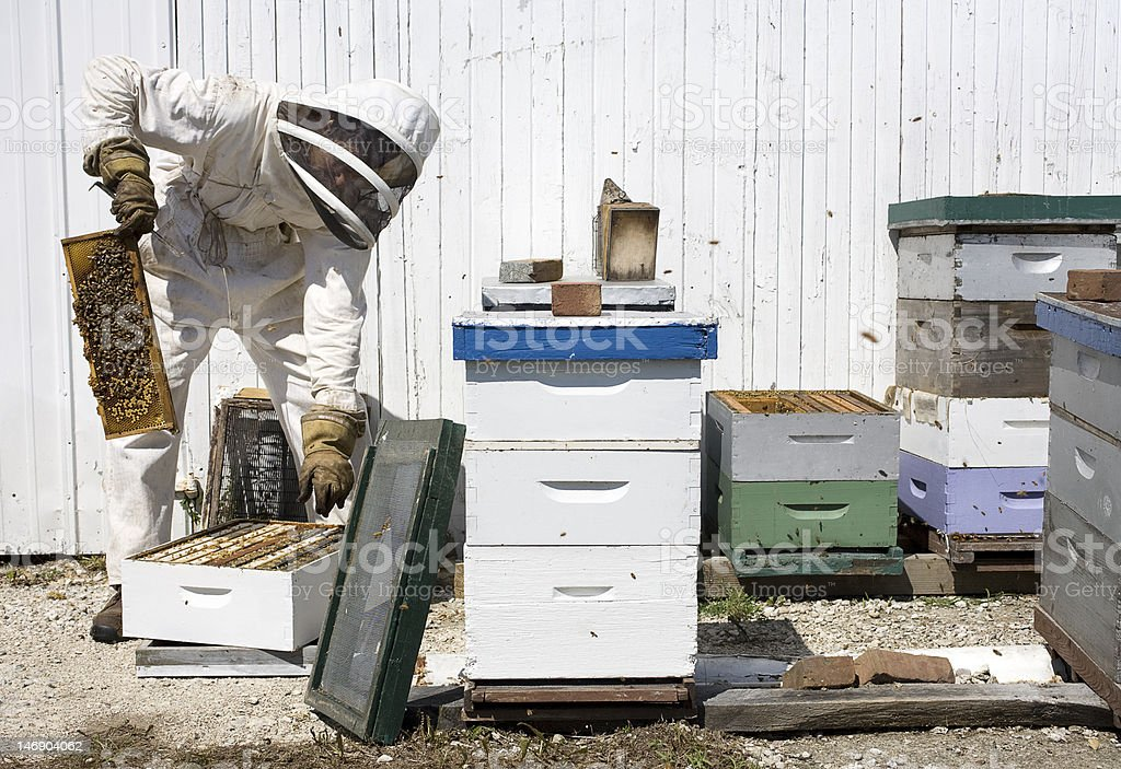 Beekeeper Removing Hive Frame from Box stock photo