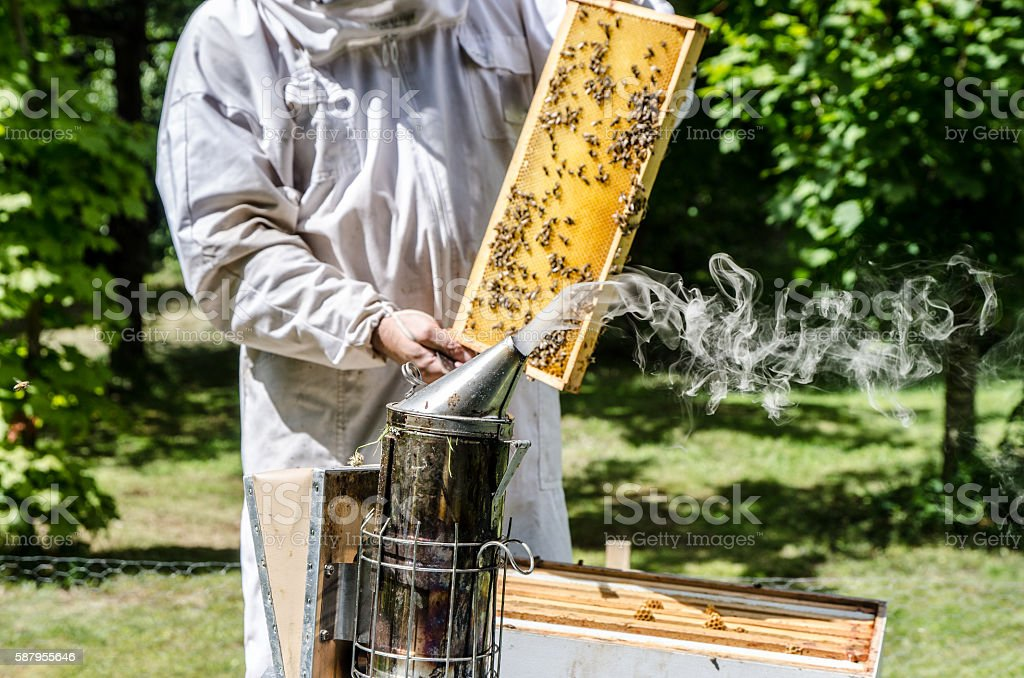 Beekeeper showing frame from beehive full of bees stock photo