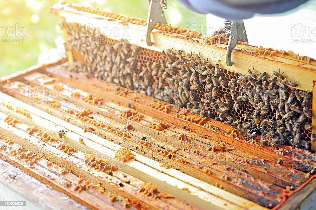 Beekeeper taking honeycomb from beehive stock photo