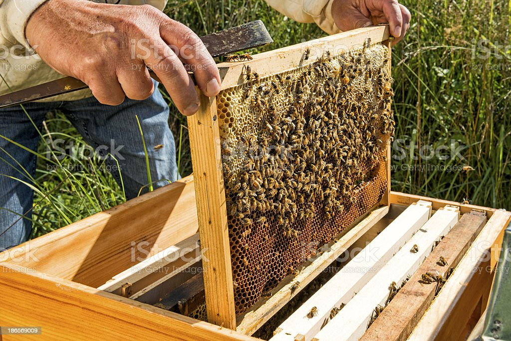 beekeeper taking honeycomb out of the beehive stock photo