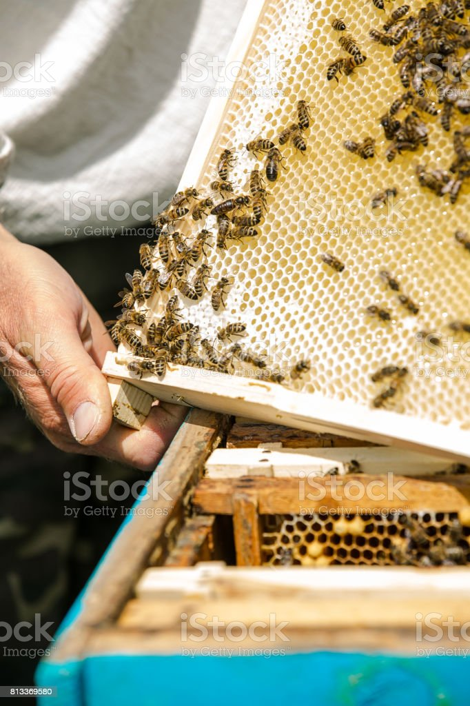 Beekeeper taking out frame with honeycomb out of a beehive with bare hands. Bees on honeycombs. Frames of a bee hive. stock photo