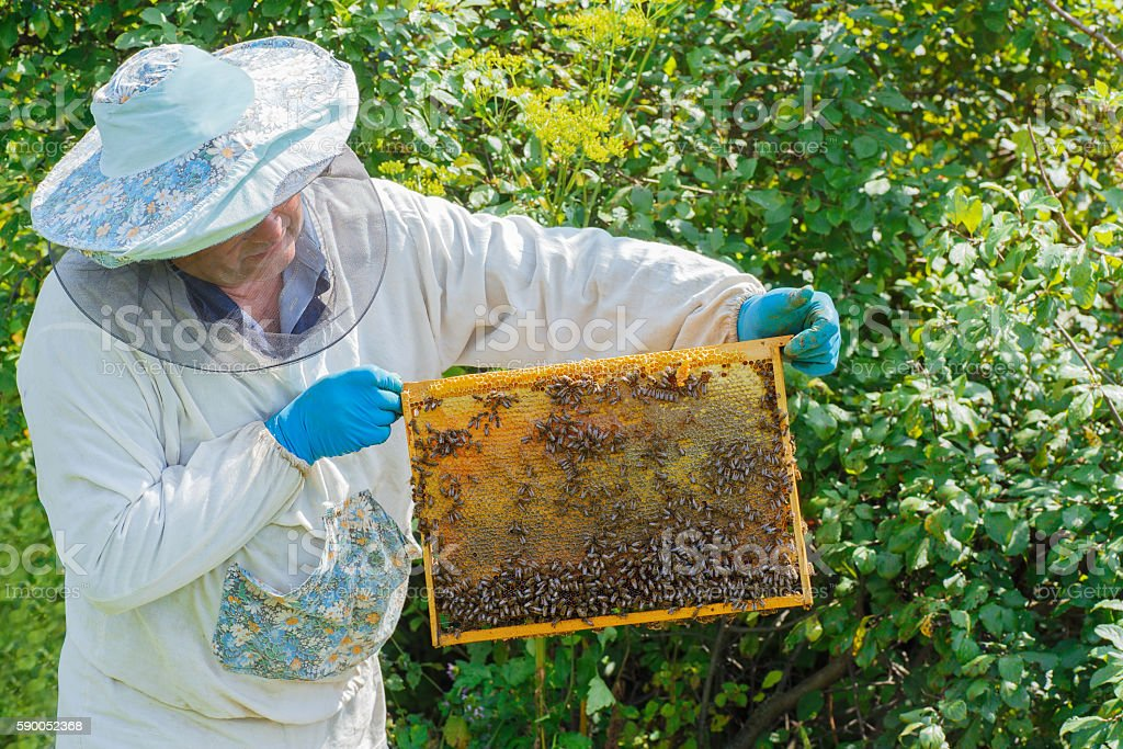 beekeeper with a honeycomb full of bees stock photo