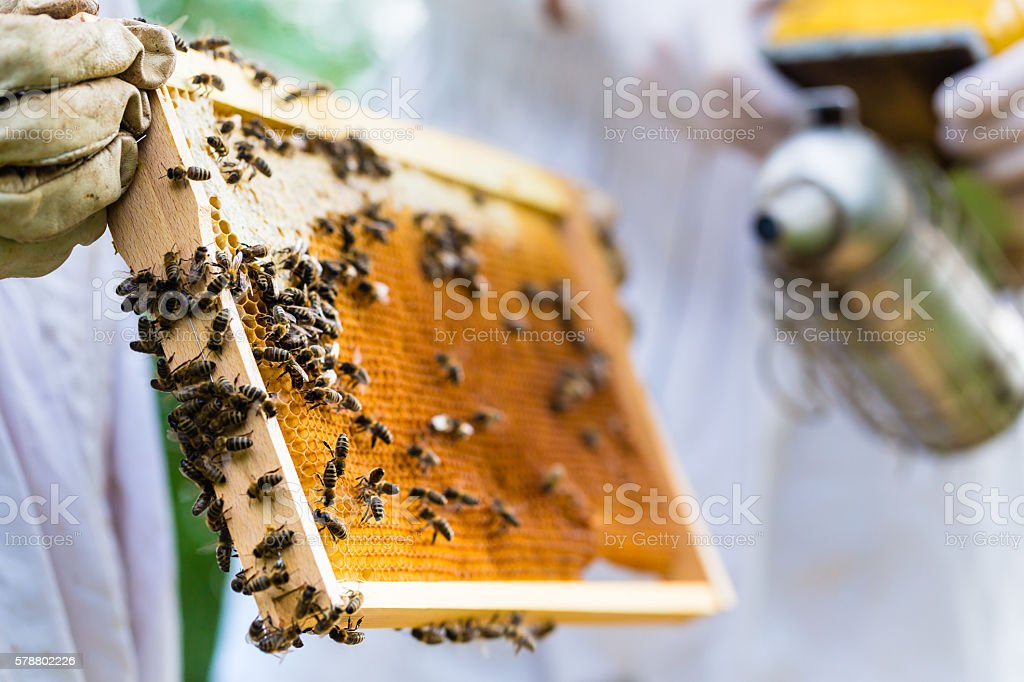 Beekeeper with smoker controlling beeyard and bees stock photo