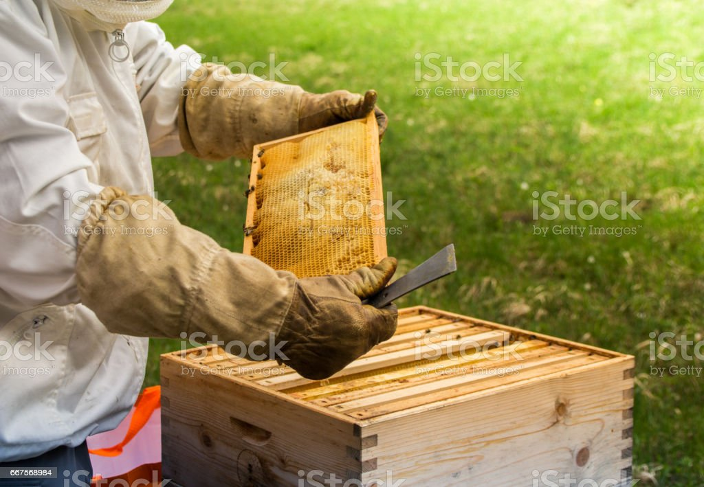 beekeeper working and controlling the beehive stock photo