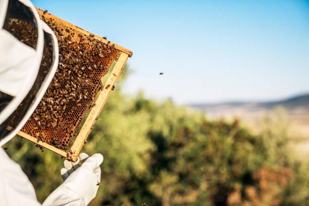 Beekeeper working collect honey. Beekeeping concept stock photo
