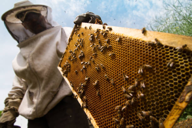 beekeeper working on beehive stock photo