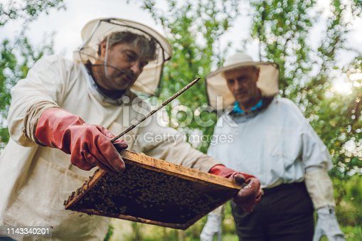 Two mature beekeepers collecting honey from beehives