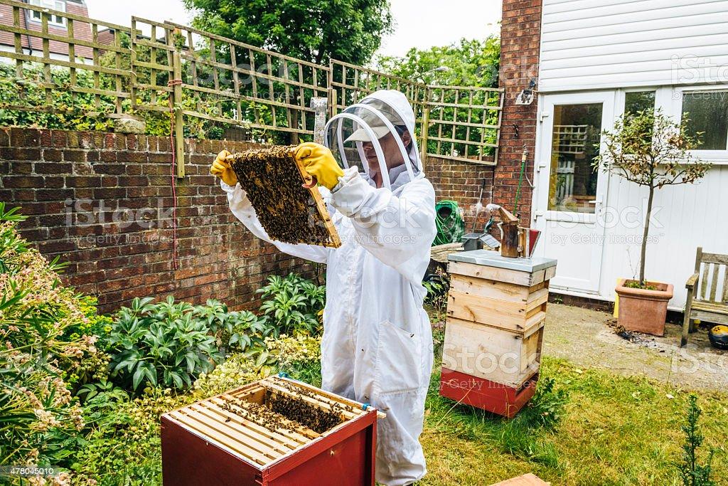 Beekeper inspecting her beehives stock photo