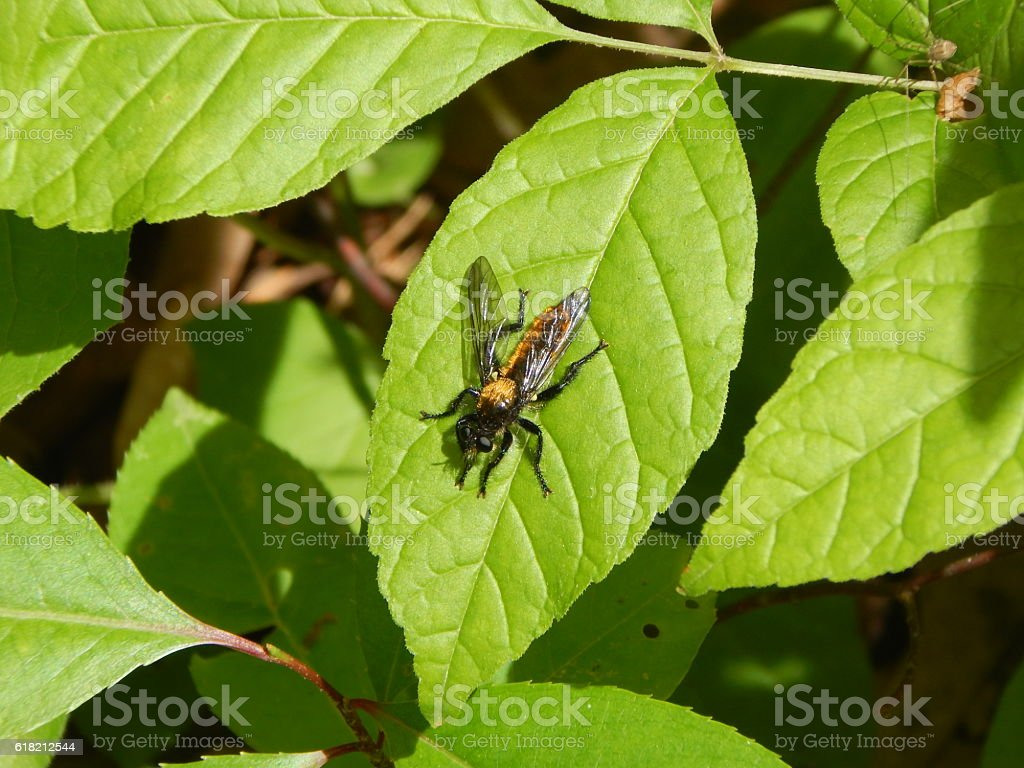 Bee-like Robber Fly on Leaf stock photo