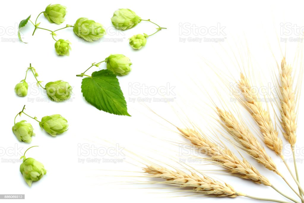 Beer brewing ingredients Hop cones and wheat ears isolated on a white background. Beer brewery concept. Beer background. Top view with copy space stock photo