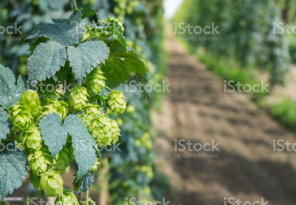 beer hop plant stock photo