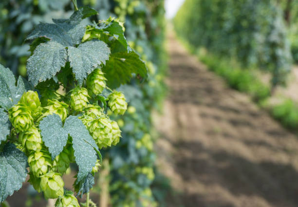 beer hop plant stock photo