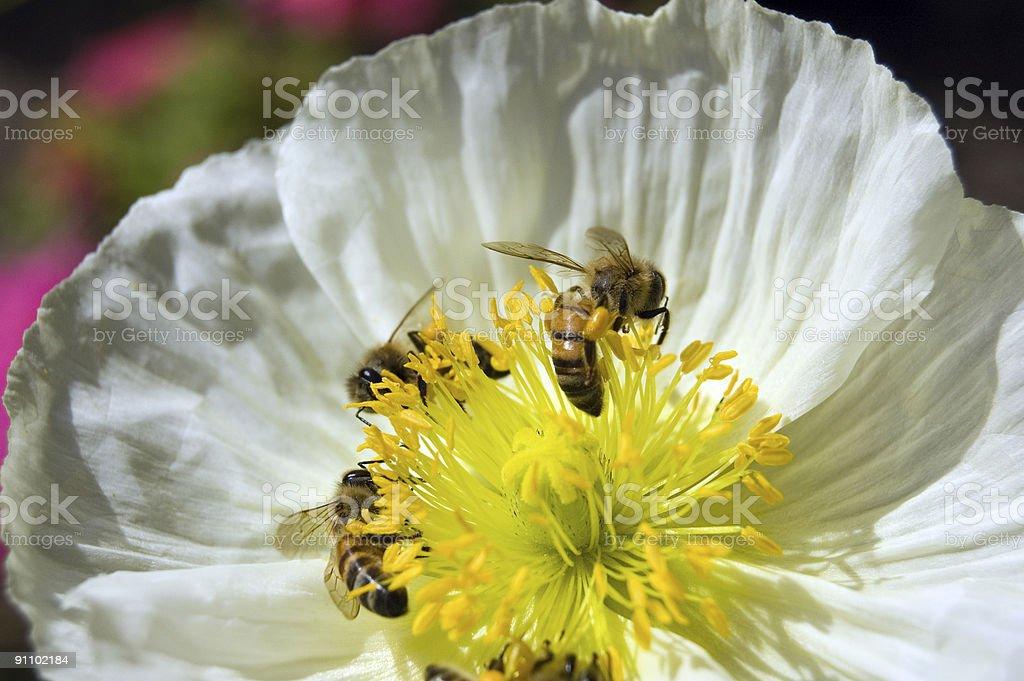 Bees and Poppy royalty-free stock photo