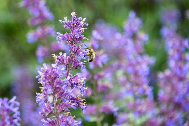 Bees and purple flowers