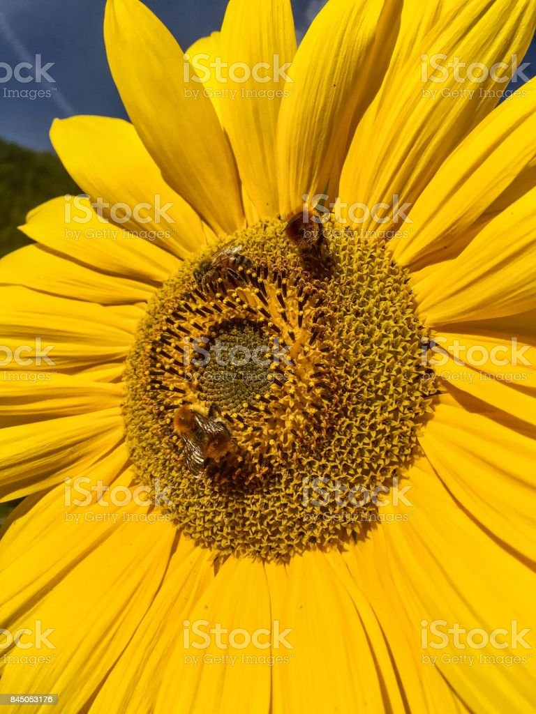 Bees and Sunflowers stock photo