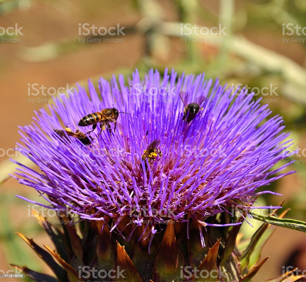 Bees and wasp foraging on wild artichoke flower stock photo