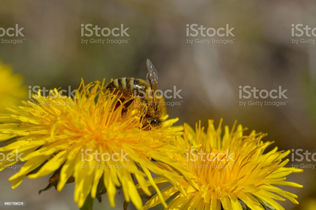 Bees are all in the dust of flowers foto stock royalty-free