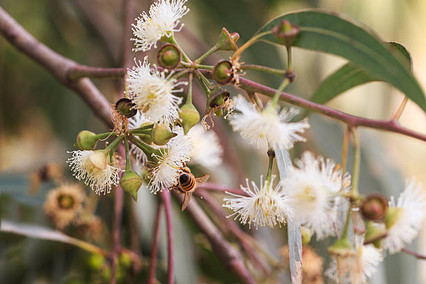 Bees are collecting eucalyptus nectar (honey). stock photo