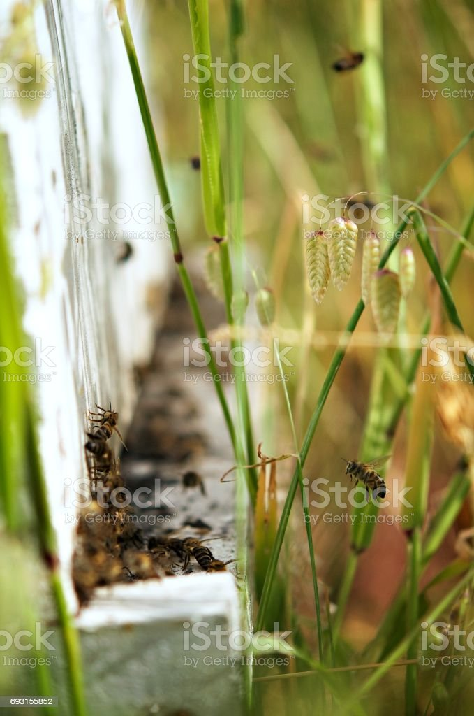 Bees at Beehive Entrance in grass stock photo