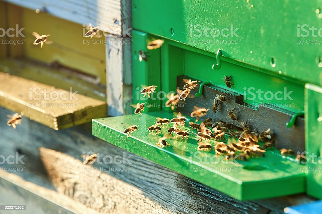Bees at beehive stock photo