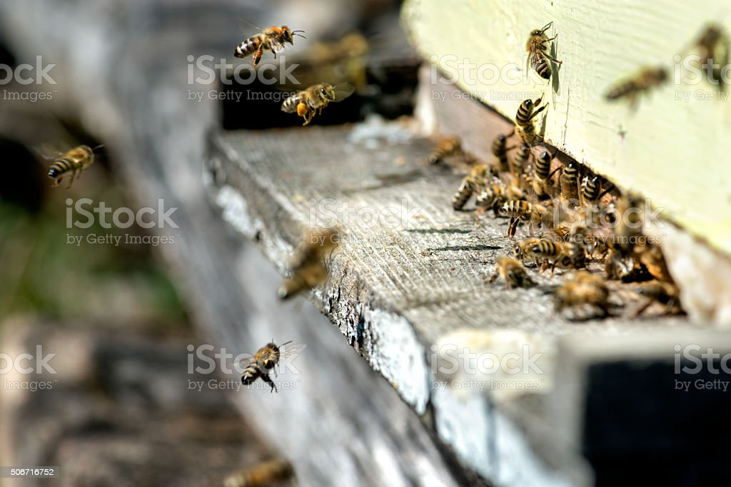 Bees at entrance of beehive stock photo