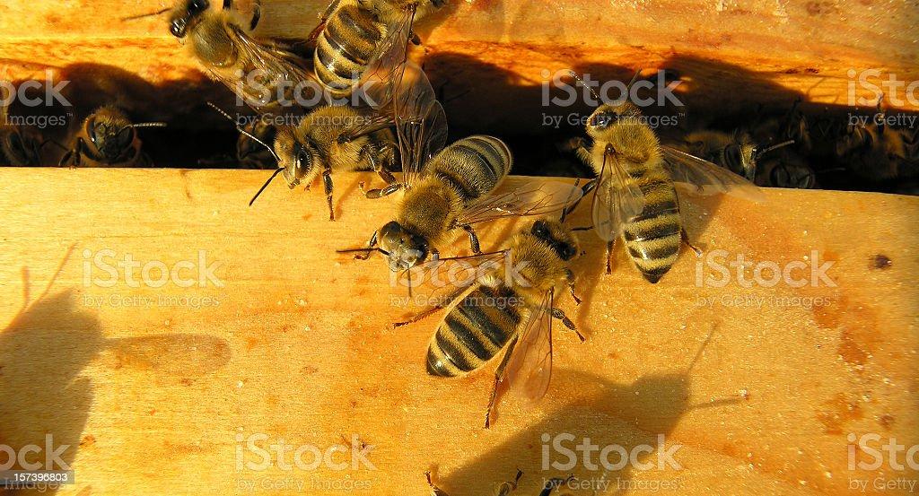 bees at sunset royalty-free stock photo