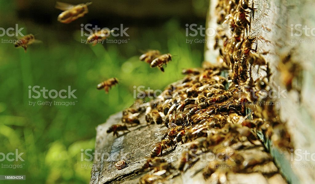 Bees at the beehive. royalty-free stock photo