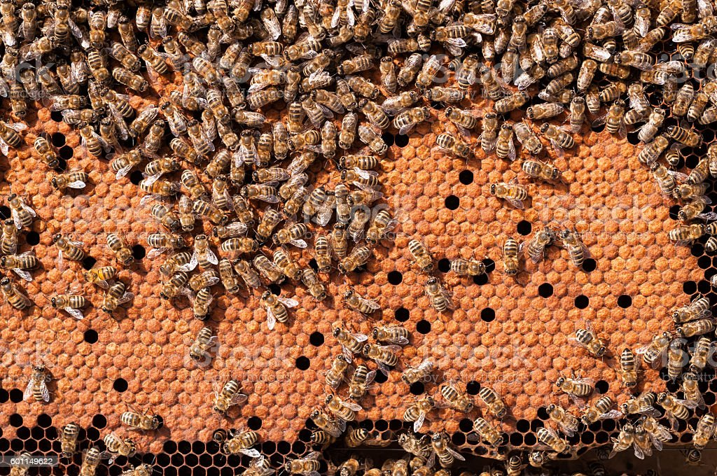 Bees Broods, working bee larvae heated on honeycomb stock photo