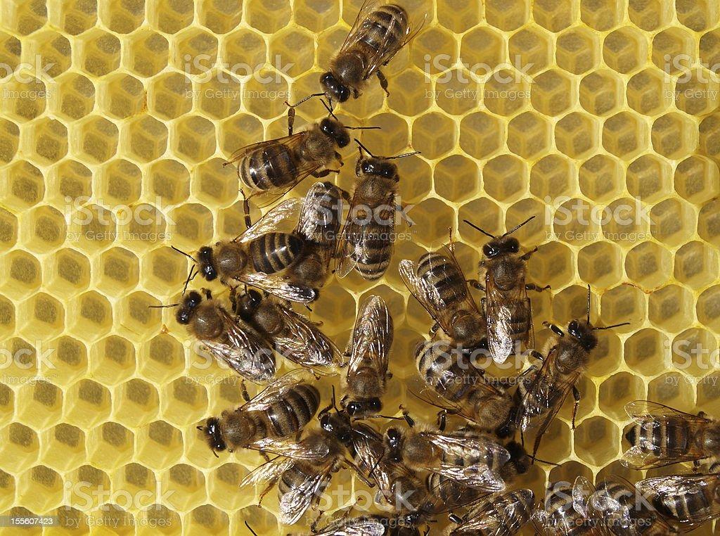 Bees build honeycombs royalty-free stock photo