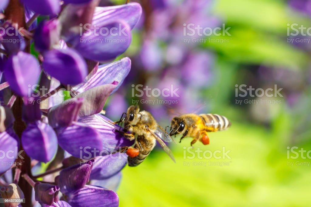 Bijen honing verzamelen en bestuiven de bloemen. - Royalty-free Beroep Stockfoto