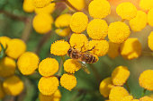 Bees collect honey and pollinate wildflowers on a sunny day
