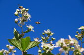 Bees pollinating blooming bushes of blackberries. Blue sky as background.