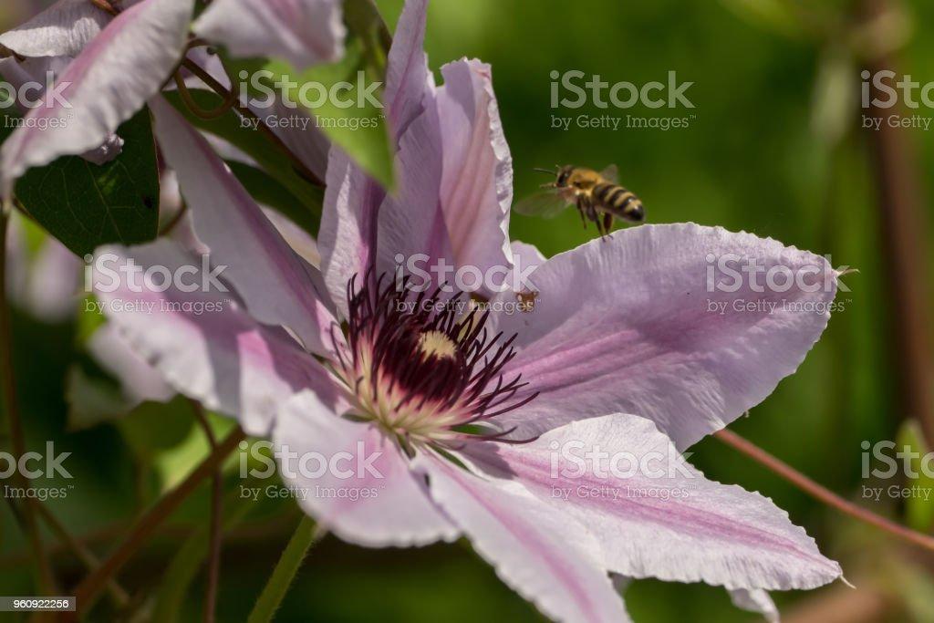 Bienen sammeln Pollen und Nektar auf Blumen - Lizenzfrei Arbeiten Stock-Foto