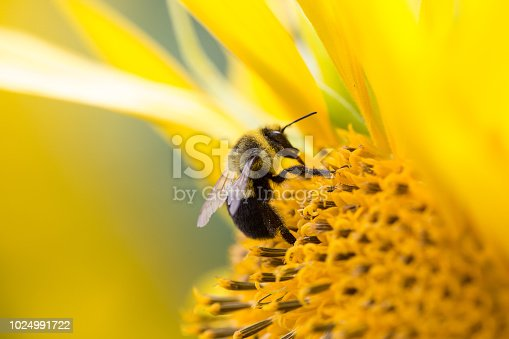 Bees collecting pollen from a sunflower in rural Wisconsin.