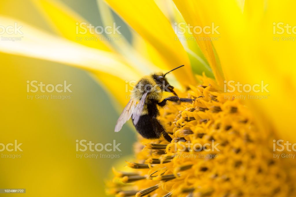 Bees collecting pollen from a sunflower. stock photo