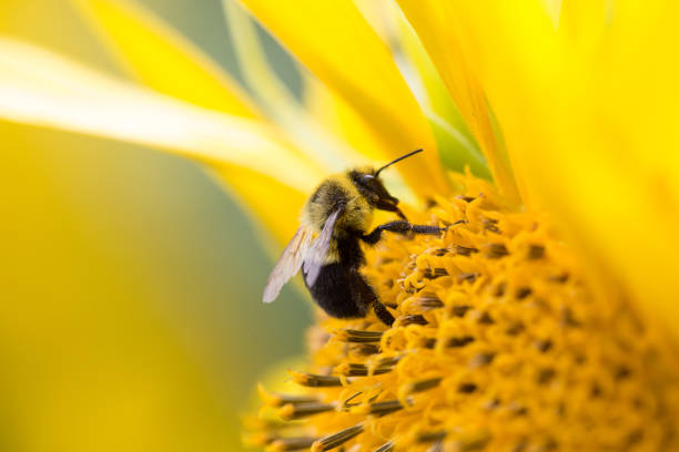 bees collecting pollen from a sunflower. - ape foto e immagini stock