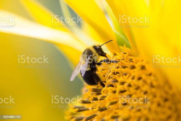 Photo of Bees collecting pollen from a sunflower.