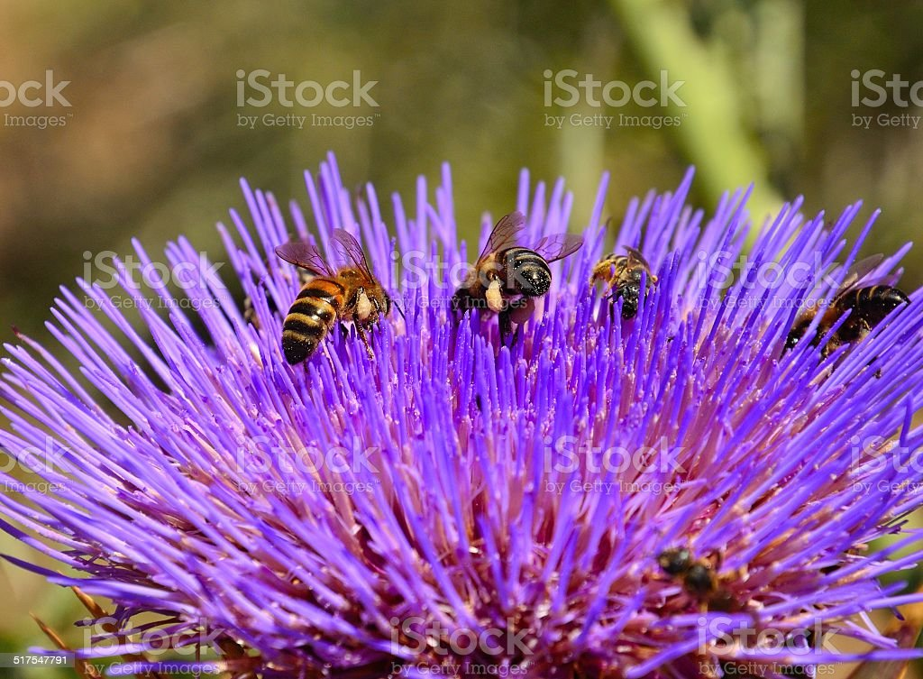 Bees collecting pollen on flower head of wild artichoke stock photo
