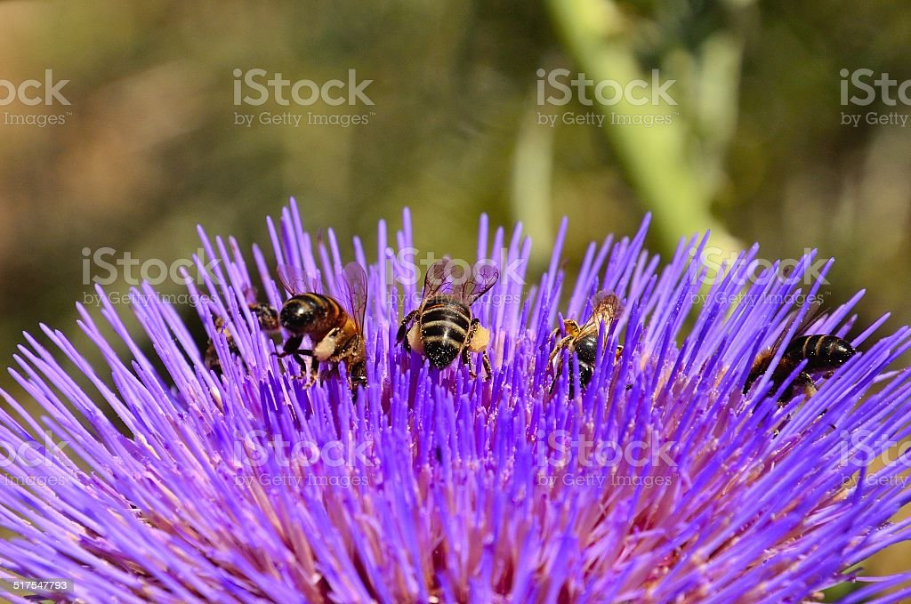 Bees collecting pollen on wild artichoke flower stock photo