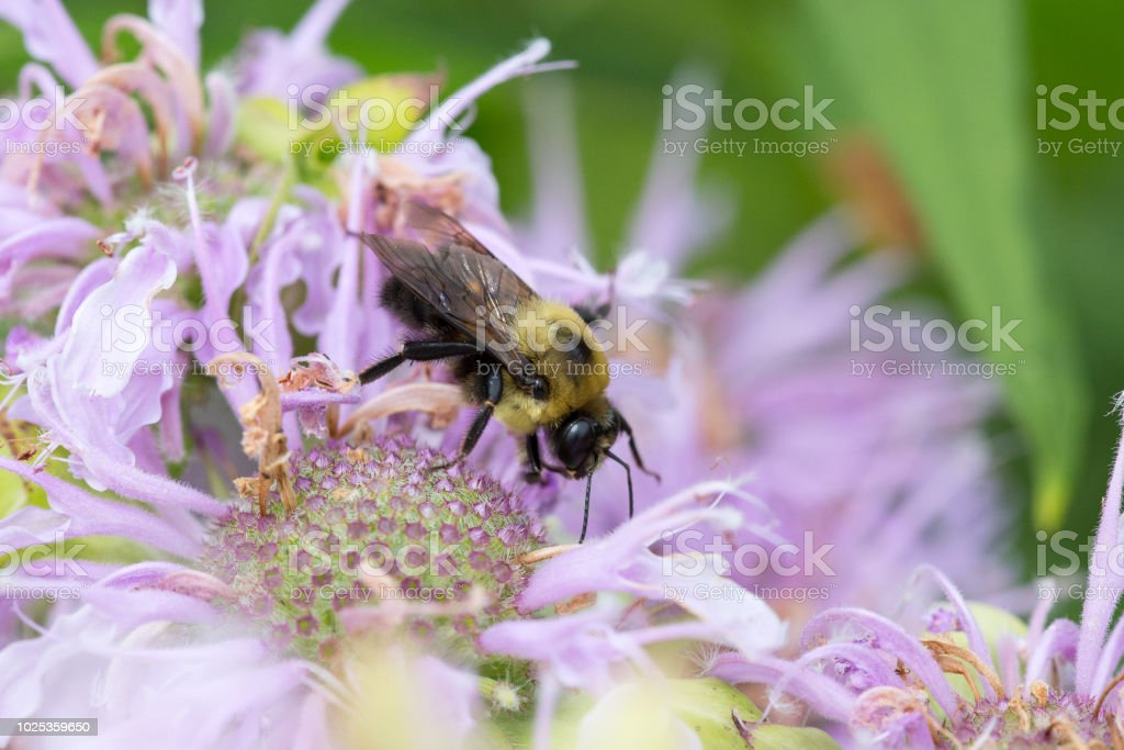 Bees collecting pollen stock photo
