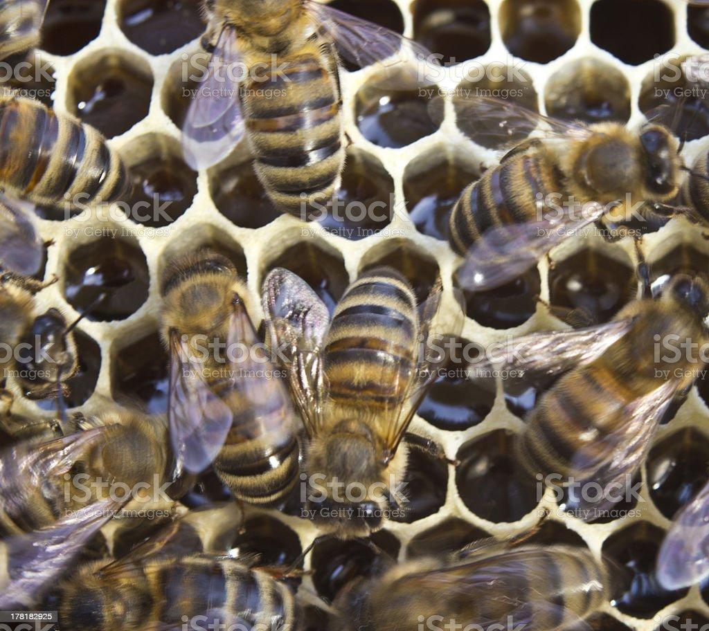 Bees convert nectar into honey royalty-free stock photo